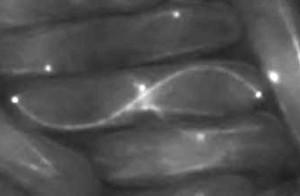Cassure d'un filament d'actine