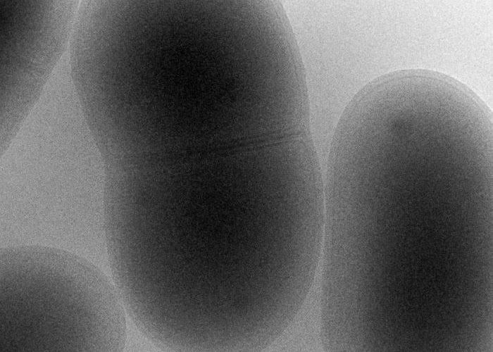 Corynebacterium glutamicum cryofixées dans l'éthane liquide MET & observation par cryomicroscopie filtrée à 200KV - Stéphanie Balor, Equipe Milon IPBS