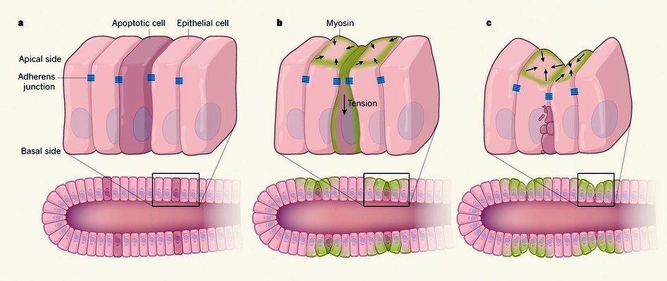 Un nouveau rôle actif des cellules apoptotiques sur la formation de plis épithéliaux aptoptose-dépendant (figure reproduite de [2]).