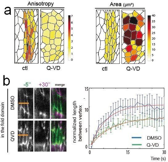 Fig. 2 : (a) exemple d'analyse morphologique des cellules des plis dans le contexte contrôle (ctl) et en inhibant l'apoptose (Q-VD). (b) Mesure du temps de relaxation après nano-chirurgie laser dans un contexte contrôle (DMSO) et en inhibant l'apoptose (Q-VD). Figure modifiée d'après publication [1]