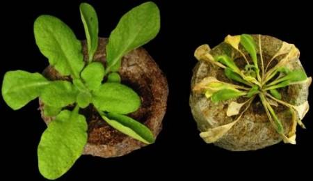 A.thaliana et Ralstonia